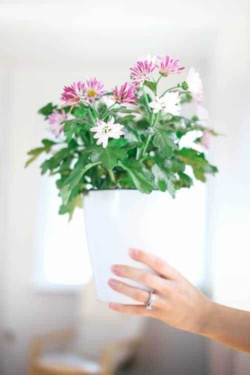 Hand holding pink flowers in a white container