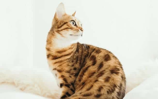 A spotted cat