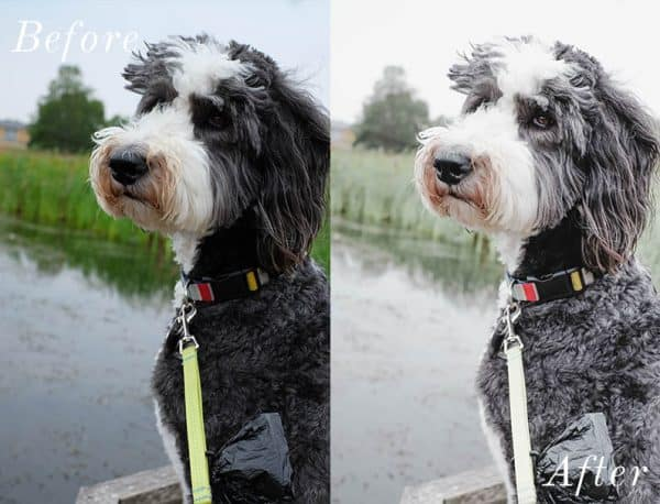Before and after photo of dog using Lightroom mobile presets